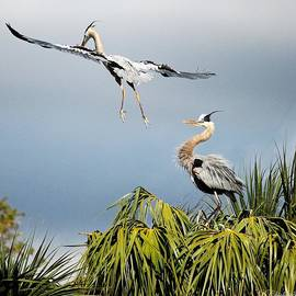 Barbara Chichester - Great Blue Heron Up And Away