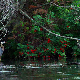 James Hammen - Great Blue Heron Wading