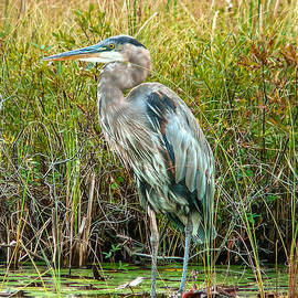 Eti Reid - Great blue heron waiting for supper