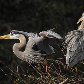 Carol Eade - Great Blue Herons