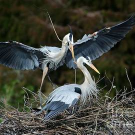 Sabrina L Ryan - Great Blue Herons Nesting