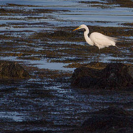 Kirkodd Photography Of New England - Great Egret at Avery Point