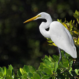 Mr Bennett Kent - Great Egret in the Florida Everglades