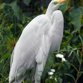 Jess Kraft - Great Egret