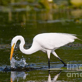 Heron  Images - Great Egret Pictures 10