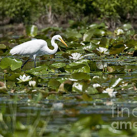 Heron  Images - Great Egret Pictures 11
