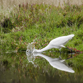 Bruce Frye - Great Egret Splash