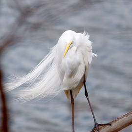 Roy Williams - Great Egret Windy Portrait