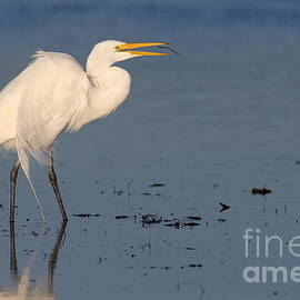 Bryan Keil - Great egret with worm