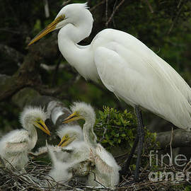 Bob Christopher - Great Egret With Young