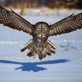 Jim Cumming - Great Gray Owl ...in your face