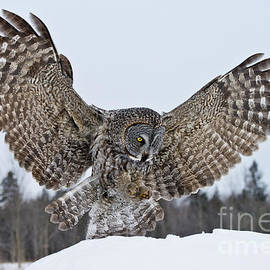 World Wildlife Photography - Great Gray Owl Pictures 570