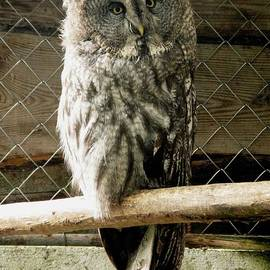 Ausra Paulauskaite - Great Grey Owl