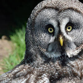 Barry Goble - Great Grey Owl