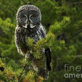 Bob Christopher - Great Grey Owl