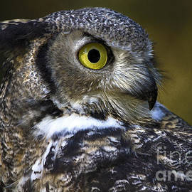 Sharon Ely - Great Horned Owl