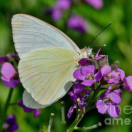 Kathy Baccari - Great Southern White Butterfly