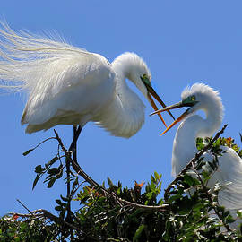 Jennie Breeze - Great White Egret Couple