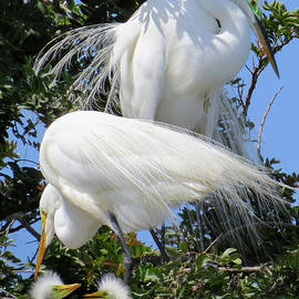 Jennie Breeze - Great White Egret Family