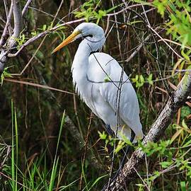 Chuck  Hicks - great white egret in the wild