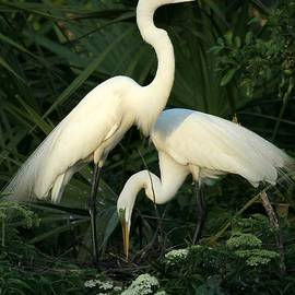 Sabrina L Ryan - Great White Egret Mates