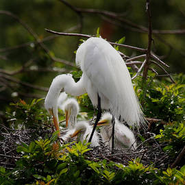 Joseph G Holland - Great White Egret nesting