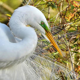 Kathy Baccari - Great White Egret Portrait