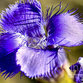 Teresa Zieba - Greater Fringed Gentian