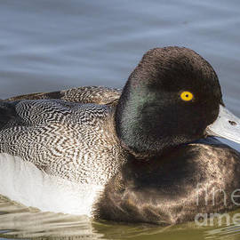 David Cutts - Greater Scaup Close Up