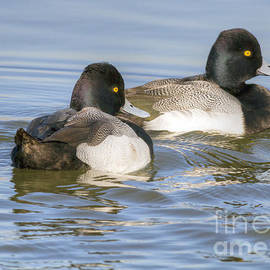 David Cutts - Greater Scaups on the Move