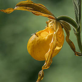 Patti Deters - Greater Yellow Ladyslipper
