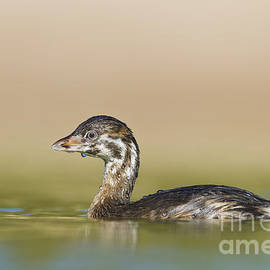 Bryan Keil - Grebe all wet
