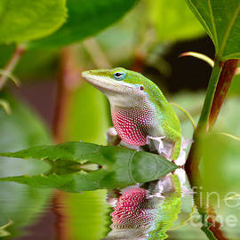 Kathy Baccari - Green Anole And His Reflection