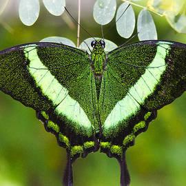 Saija  Lehtonen - Green-banded Swallowtail