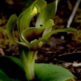 Graham Palmer - Green Bird Orchid