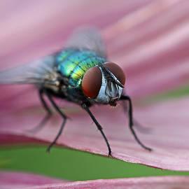 Juergen Roth - Green Bottle Fly