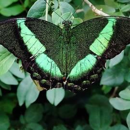 Savanna Paine - Green Butterfly