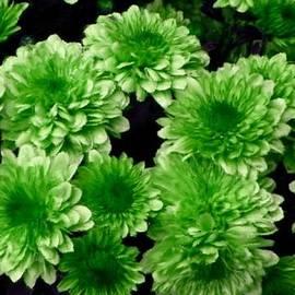 Bruce Nutting - Green Chrysanthemums