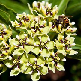 Mark Weaver - Green Flowered Milkweed