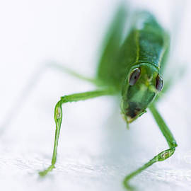 Iris Richardson - Green Grasshopper Caelifera