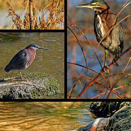Dawn Currie - Green Heron Autumn