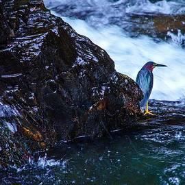 Lori Miller - Green Heron Blue during Mating