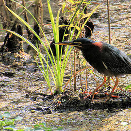 Rosalie Scanlon - Green Heron in Nature