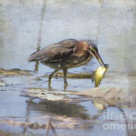TN Fairey - Green Heron more than a mouthful