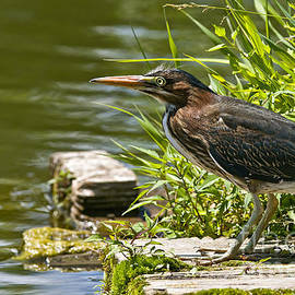 Heron  Images - Green Heron Pictures 1