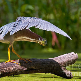 World Wildlife Photography - Green Heron Pictures 146
