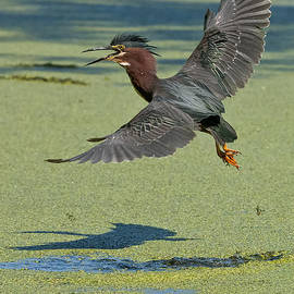 World Wildlife Photography - Green Heron Pictures 193