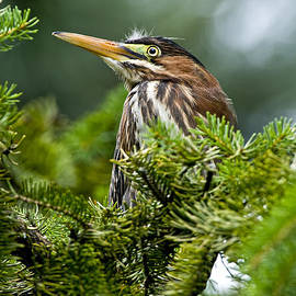 Heron  Images - Green Heron Pictures 2