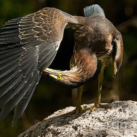 Heron  Images - Green Heron Pictures  21