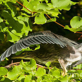 Heron  Images - Green Heron Pictures  26